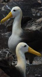 Albatross , Galapagos Islands , Ecuador S.A.  , Dec ' 06 .