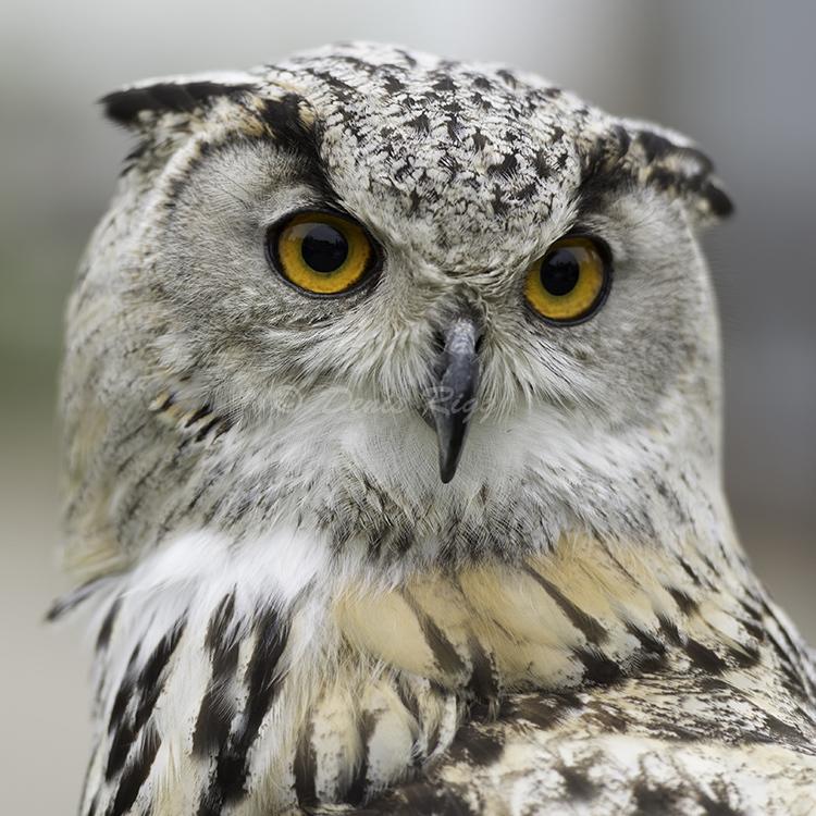 401-Turkmenistan Eagle Owl