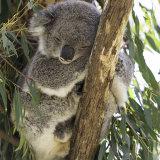402-Koala