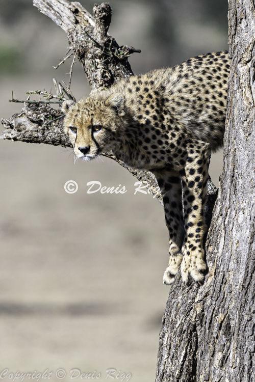 403-Cheetah