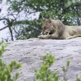 405-Lioness