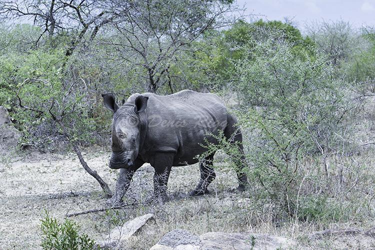 406-Rhinocerous