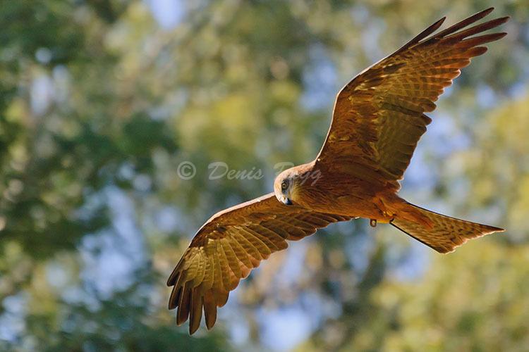 408-Brown Falcon
