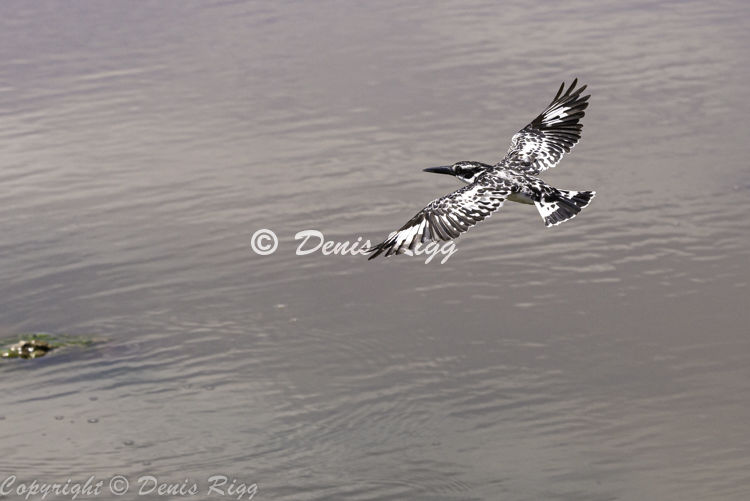 409-Pied Kingfisher