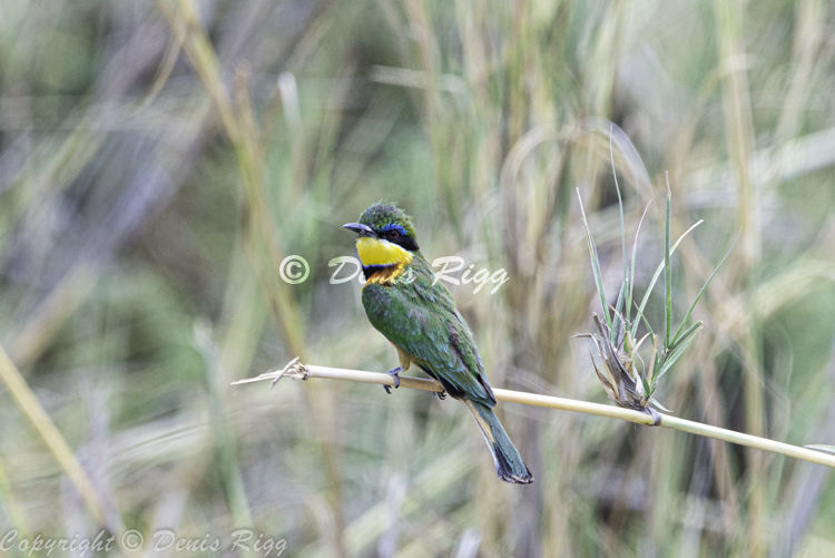 411-Little Bee Eater