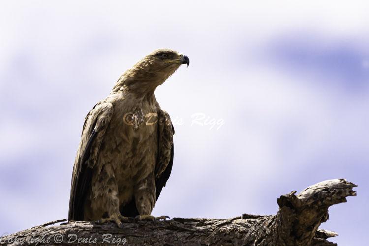 412-Tawny Eagle