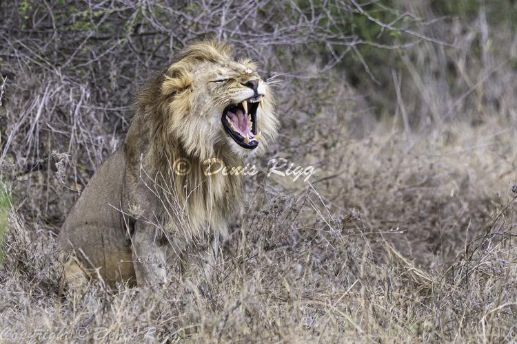 418-Roaring Lion