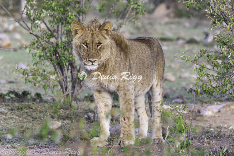 420-Lion