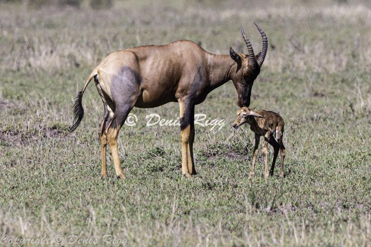 422-Topi with newborn
