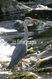 Heron fishing in the River Wharfe (A6 card)