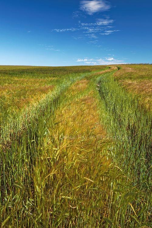 Summer Wheat trial, Lychpole-Bottom, NR-Steyning-Bowl, West-Sussex