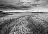 Summers field of Wheat, Lychpole Bottom, NR Steyning Bowl, West Sussex