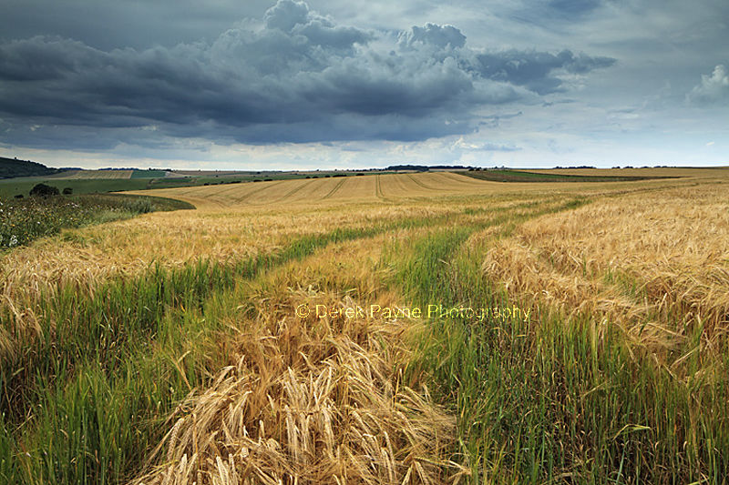 Summers field of Wheat, Lychpole Bottom, NR-Steyning Bowl, West Sussex