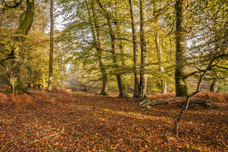 Start of Autumn, Bolderwood, New Forest, National Park, Hampshire