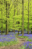 Ashridge Bluebells,