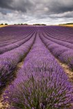Lavender field, Lordington, West-Sussex