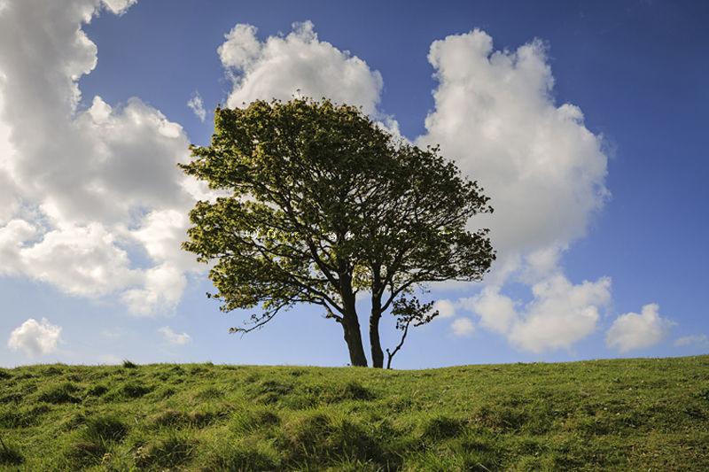 Lone -tree on hillside, Cisbury, Findon, West Sussex