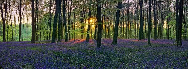 Bluebell Dawn, Micheldever Wood, Hampshire