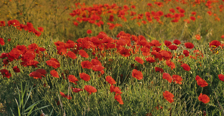 Morning Glow, Sussex Poppy field, Truleigh hill, West sussex