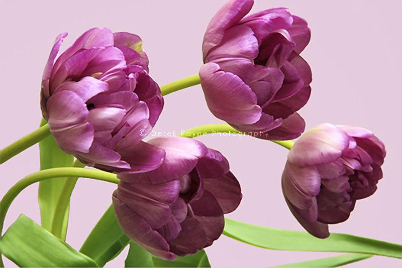 Tulips. Home, Studio, Worthing, West Sussex