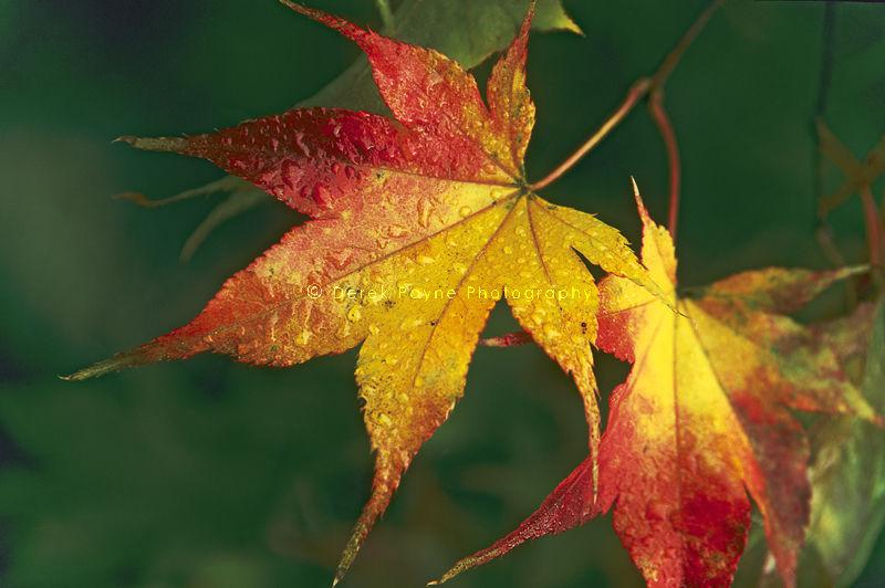 Shades of Autumn, Winkworth Arboretum, Surrey