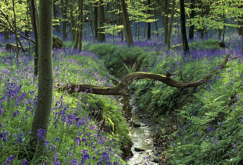 Bluebells of Coldwaltham, Coldwaltham park, West Sussex.