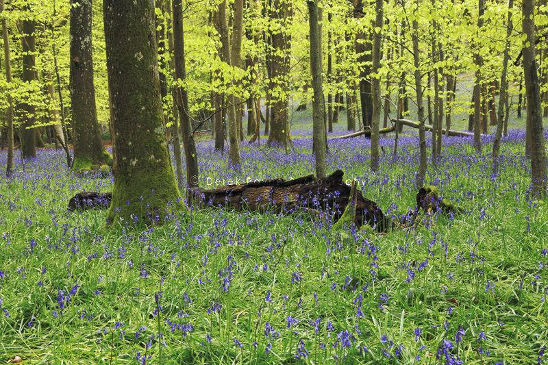 Spring Bluebells in Coldwaltham Park.