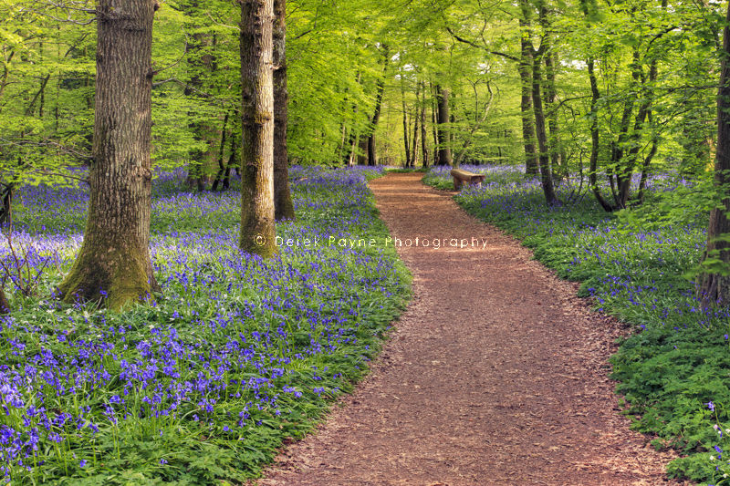 Pathway through Arlington bluebell wood, Arlington, East Sussex.