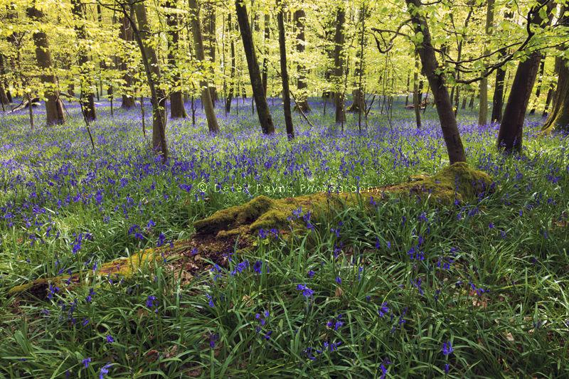 Coldwaltam park Bluebells