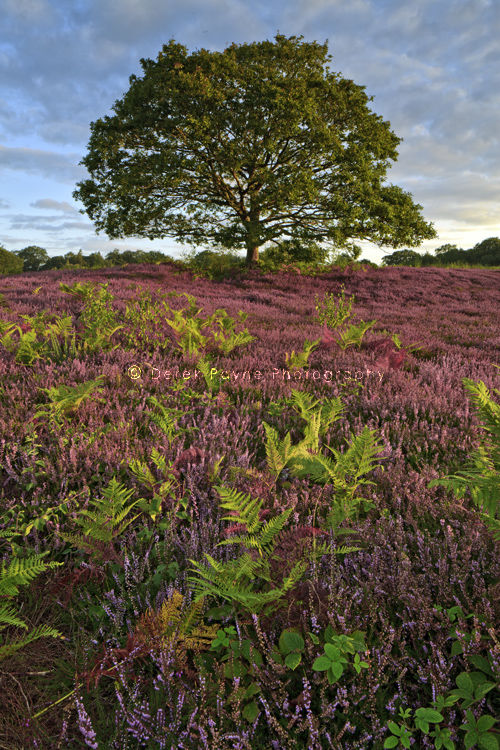 Heather and lone Tree, Lords Peace, West Sussex.