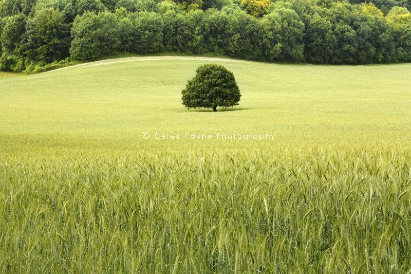 Oak tree in Barley Field, Stead Combe, Cocking
