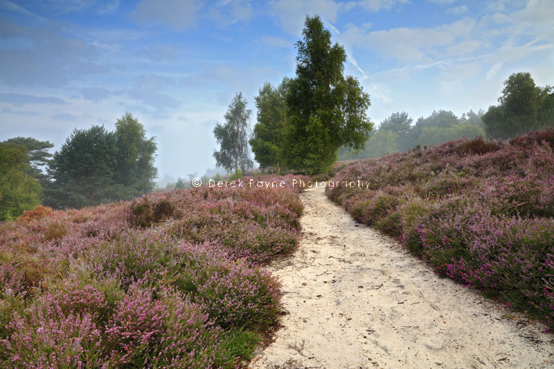 Misty dawn on Heather covered Hesworth Common, West Sussex
