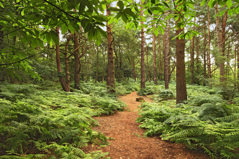 Hesworth Common forest, West Sussex