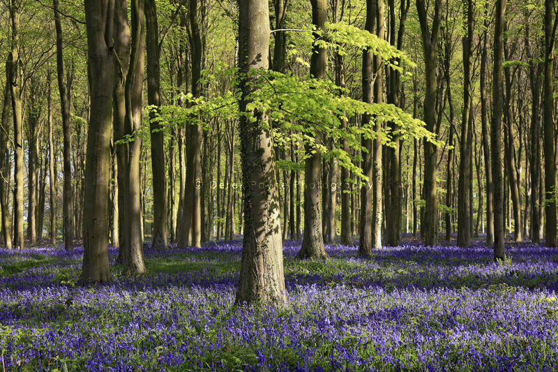 Bluebell wood, Lower Oldfield Copse,