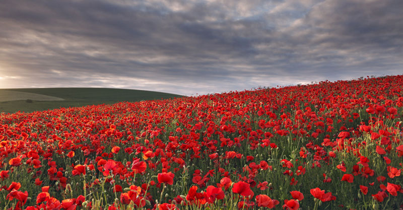 Poppy field at Sunset, West Sussex
