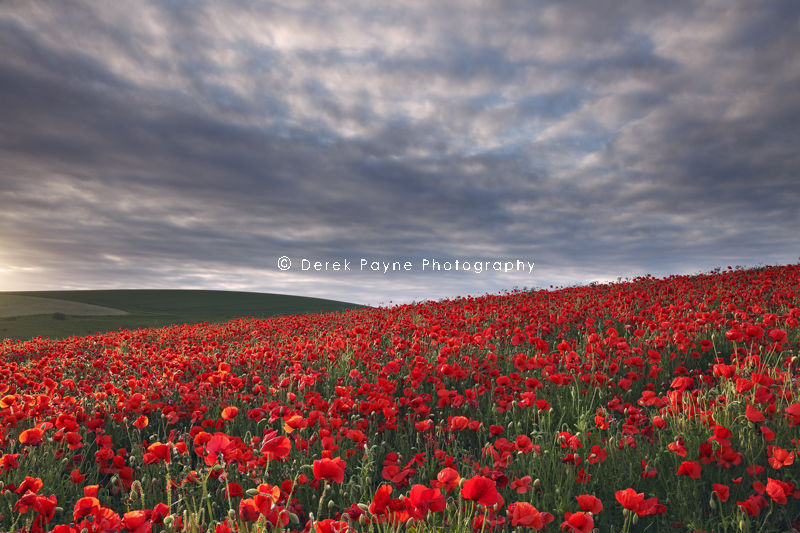 Poppy field at Sunset, South Downs, West-Sussex