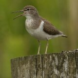 Common Sandpiper 1