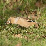 Hawfinch 2