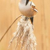 bearded tit 2