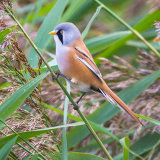 bearded tit 6