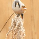 bearded tit 4