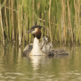 great crested grebe 15