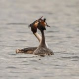 great crested grebe 4