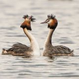 great crested grebe 6