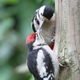 great spotted wood pecker 1