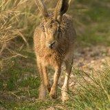 hare 9