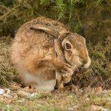hare 11