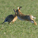 hares 4