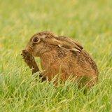 hare 6