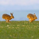 hares 6